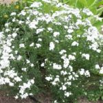 Achillea x ptarmica 'Boule de Neige'