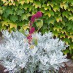 Amaranthus caudatus Polytails