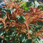 Amaranthus cruentus 'Autumn Pallet'