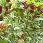 Amaranthus tricolor 'Splendens Perfecta'