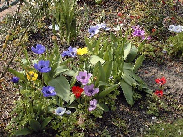 les jardins du gu anemone coronaria 39 anemone de caen 39 encyclop die des plantes. Black Bedroom Furniture Sets. Home Design Ideas