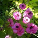Anemone coronaria 'Cristina'