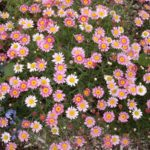 Anthemis 'Daisy Crazy Strawberry Pink'