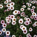 Anthemis 'Reflection Pink'
