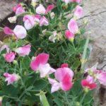 Antirrhinum 'Antirinca Peachy'