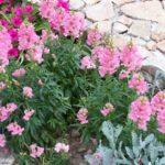 Antirrhinum majus 'Ribbon rose' f1
