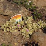 Aptenia cordifolia 'Variegata'