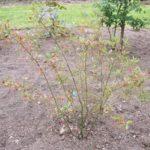 Aronia x prunifolia 'Brilliant'