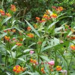 Asclepias tuberosa 'Red Butterfly'