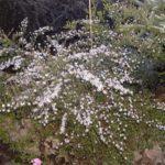 Aster ericoides 'Pink Cloud'