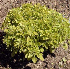 Basilic 'Fin, vert, nain, compact'