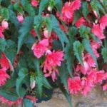 Begonia 'Bellocana Poe'