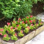 Begonia 'Doublonia Red'