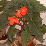 Begonia 'Flamboyant'