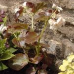 Begonia 'Gust'