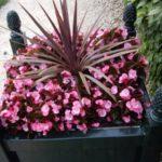 Begonia 'Mascot'