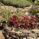 Begonia 'Organdy'