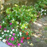 Begonia 'Nain compact'