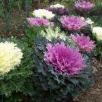 Brassica oleracea var. acephala 'Coral Queen'