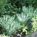 Brassica oleracea var. acephala 'White Peacock'