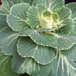 Brassica oleracea var. acephala 'White Pigeon'