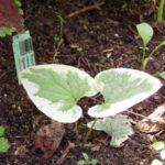 Brunnera macrophylla 'Dawson's White'