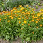 Calendula 'Orange Star'