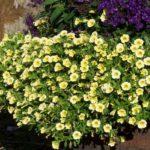 Calibrachoa 'Callie jaune'