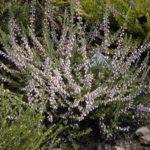 Calluna vulgaris 'Anne-marie'