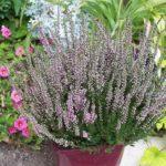 Calluna vulgaris 'Aphrodite'