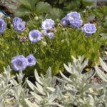 Campanula cochleariifolia 'Elizabeth Oliver'