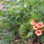 Campsis kudian 'Indian Summer'