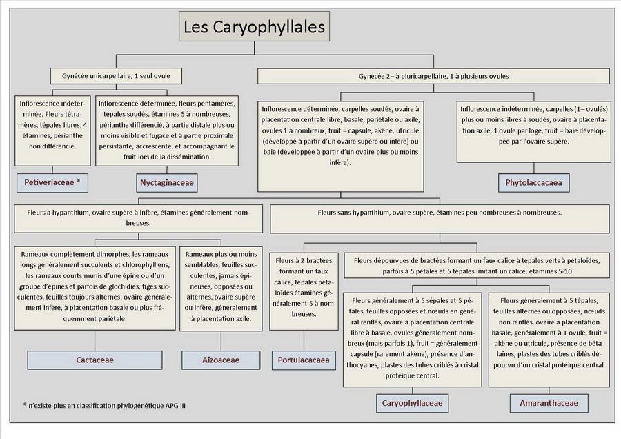 Clés d'identification des Caryophyllales