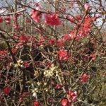 Chaenomeles japonica rose