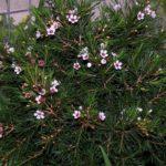 Chamelaucium floriferum 'Snow flake'