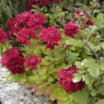 Chrysanthemum 'Red Velvet'