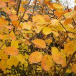 Cotinus coggygria 'Golden Spirit'