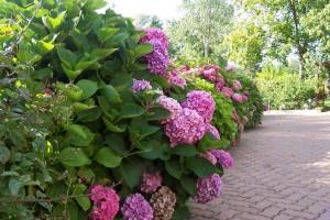 Les Jardins Du Gu 233 Bordure D Hydrangeas