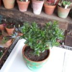 Crassula sarcocaulis ssp. rubicola
