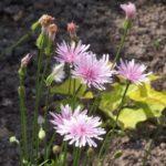 Crepis rubra 'Select'
