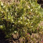 Cuphea hyssopifolia blanc