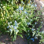 Cynoglossum amabile 'Firmament'