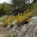 Cytisus scoparius