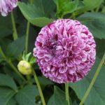 Dahlia 'Ball Marble'