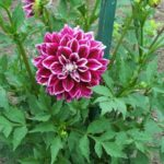 Dahlia 'Seawood Glory'