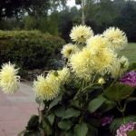 Dahlia 'Yellow Spider'
