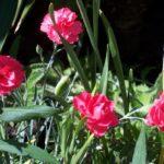 Dianthus 'Dawlish Joy'