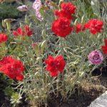 Dianthus 'Feu d'Anjou'