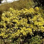 Euonymus japonicus 'Aureus'