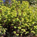 Euphorbia x martinii 'Flame'